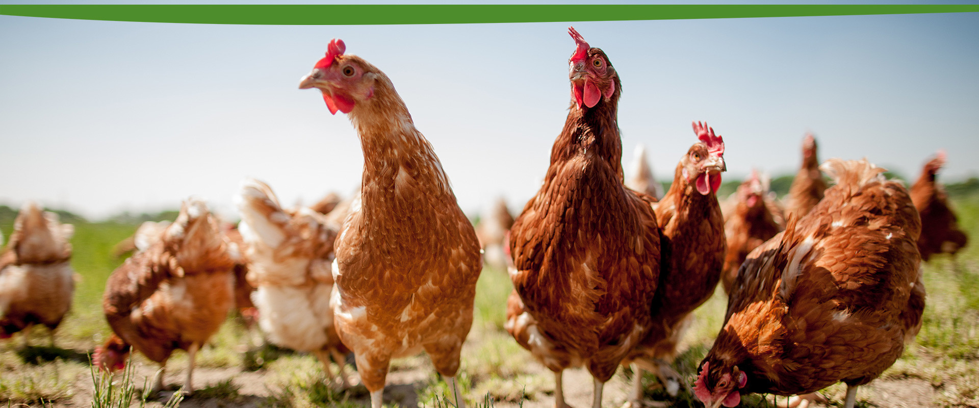 Wiesbauer Mühle - Hühner