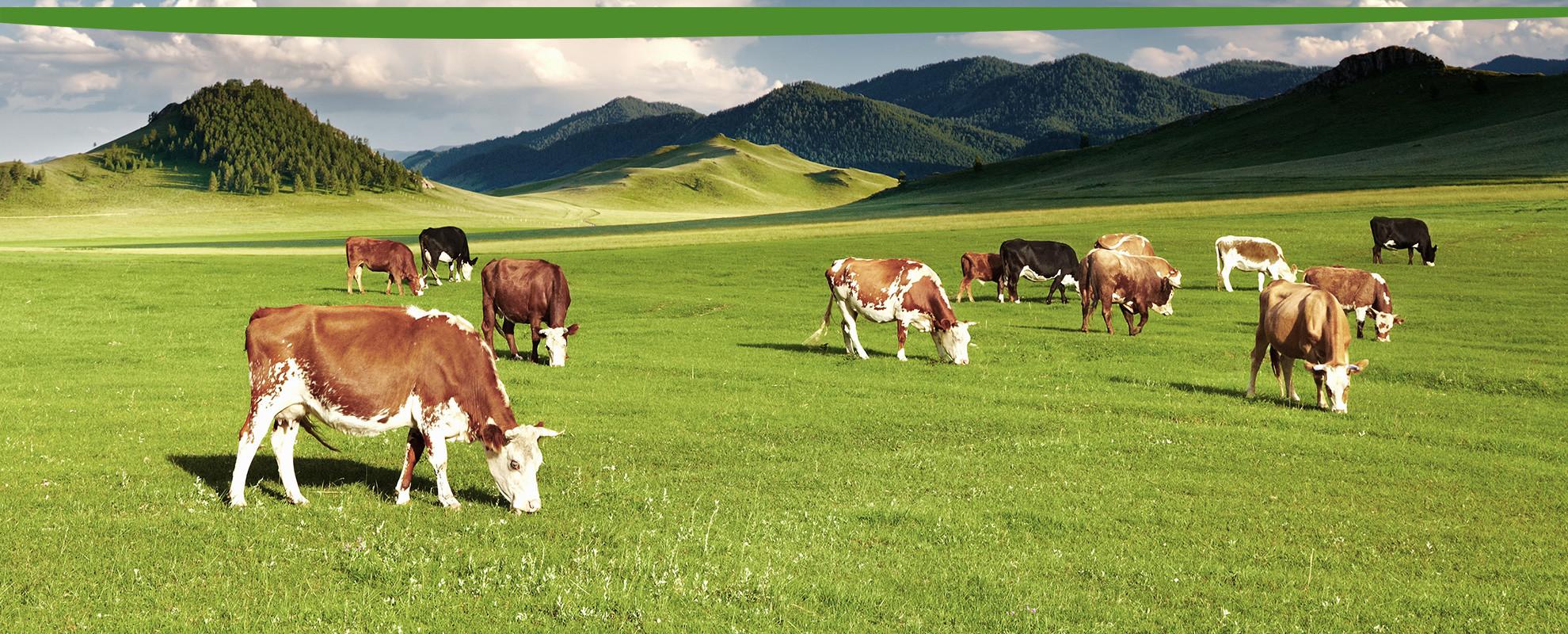 Wiesbauer Mühle - Weide mit Kühen